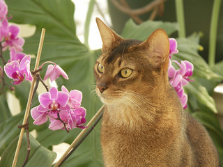 Abyssinian at the age of 2,5 - 2005 | by Stinnie