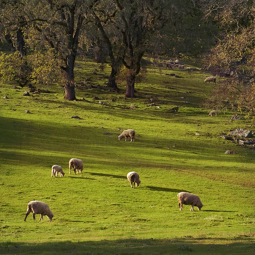 Rita Crane Photography: Sheep & Oak Trees in the Afternoon Light, Mendocino County | by Rita Crane Photography