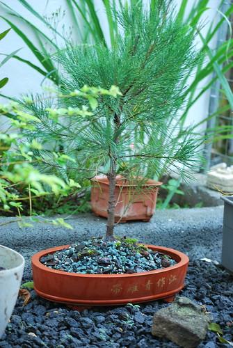Casuarina equisetifolia bonsai stock | Casuarina ...