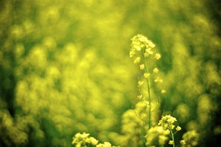 field mustard | by atoshiaki