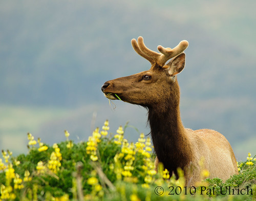 Tule elk in lupine | by Pat Ulrich
