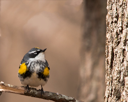 Yellow-rumped Warbler | by daytonmae