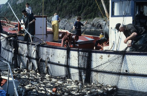 Coming aboard, cod being removed from the trap into the Island Star. | by Derek Keats