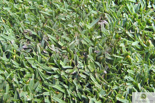 how to get rid of paspalum grass