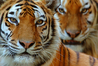 Two Siberian tigers | by WWF - Global Photo Network