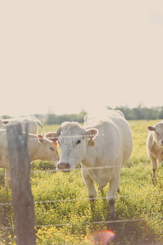 When a cow laughs, does milk come out her nose?  ~Author Unknown | by hannah * honey & jam