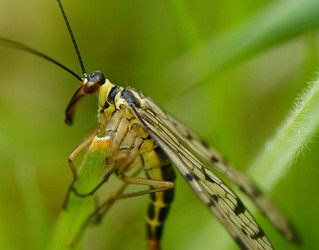 Scorpion fly | by riggy-riggo