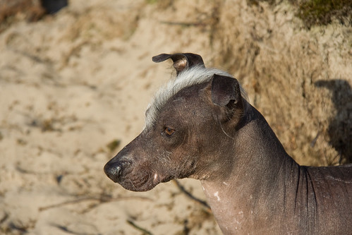 Naqui - Peruvian Hairless Dog | by David d'O / Schaapmans