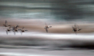 Canada Geese at Upton Warren by Melvyn Dodd | by Worcestershire Wildlife Trust