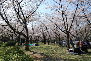 Hanami in Japapn | by Brooklyn Botanic Garden