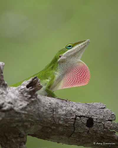 Green Anole | by bunnyfrogs