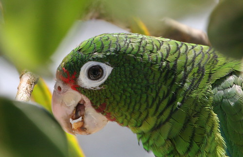 Puerto Rican parrot 4 | by USFWS/Southeast