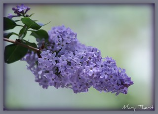 Lilac Blossom | by metherit