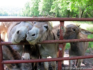 Cute donkeys hoping for treats | by Farmgirl Susan