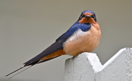 Barn Swallow | by goingslo