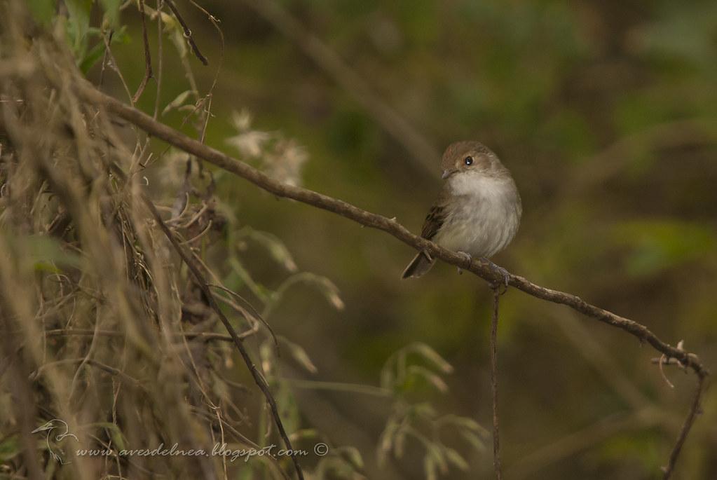 Barullero (Tawny-crowned Pygmy-Tyrant) Euscarthmus meloryphus