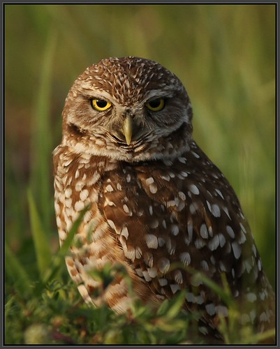 Burrowing Owl, Cape Coral, Florida | by Eric C. Reuter