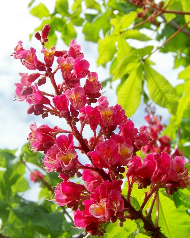 Red horse chestnut tree flowers lynns lens flickr red horse chestnut tree flowers by lynns lens mightylinksfo