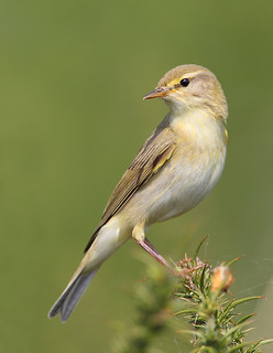 willow warbler | by Karen Summers (kaz10)