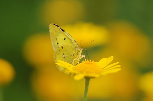 Beautiful butterfly on the lovely roman chamomile | by naruo0720