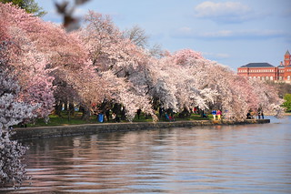 Cherry Blossoms Tidal Basin | by kimberlykv