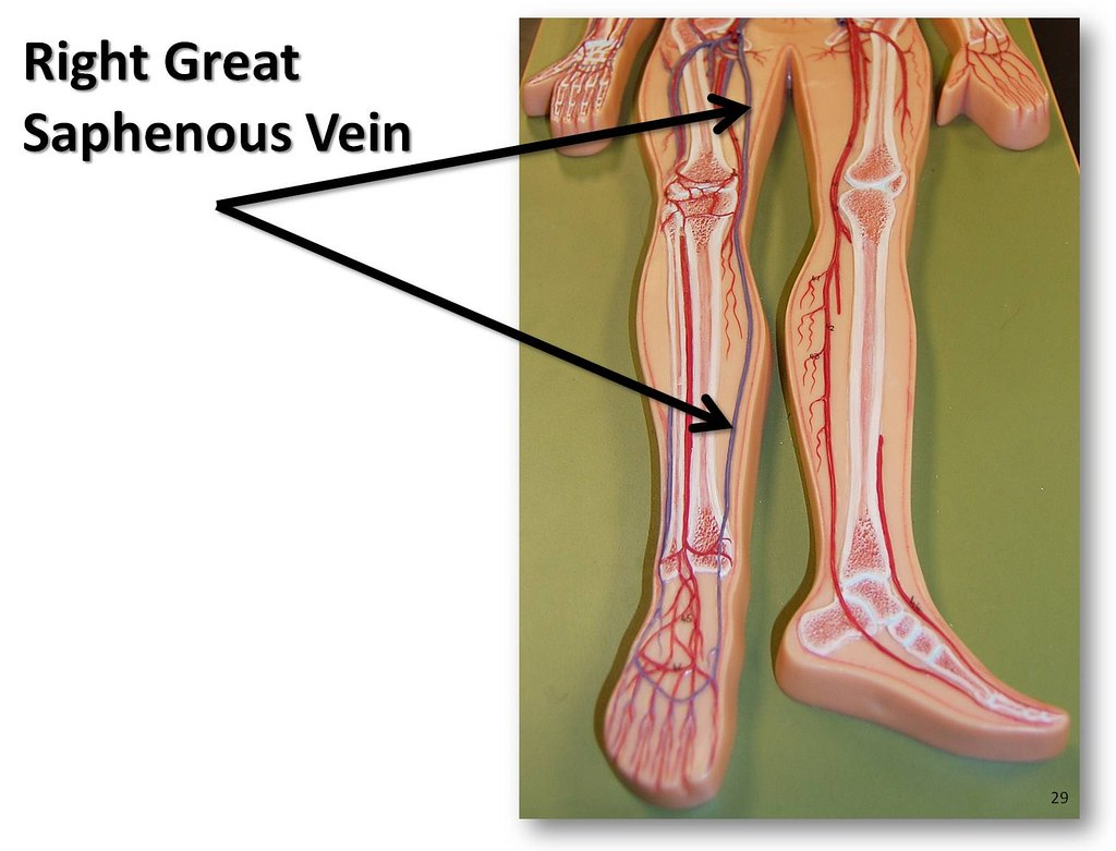 Right Great Saphenous Vein The Anatomy Of The Veins Visu Flickr
