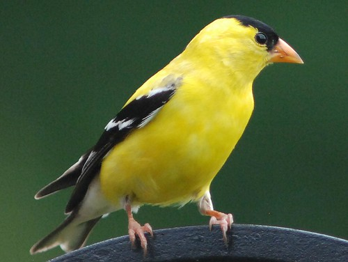 American Goldfinch | by Diane G. Zooms---Mostly Off