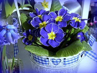 Springtime: Flowers in blue / Feliz Quinta Flores ! Happy Thursday Flowers for all Flickr-Friends ! | by swetlanahasenjäger