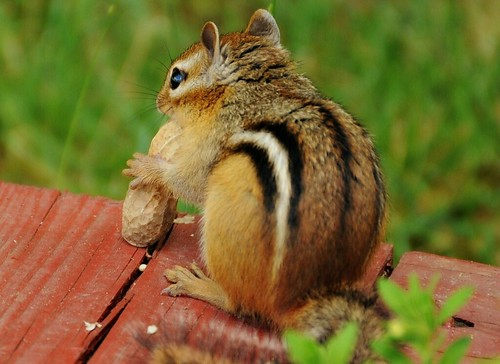 ~Found a peanut...found a peanut..found a peanut just now...~ | by nushuz
