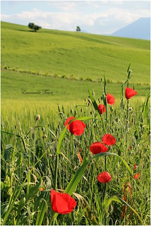 Poppies :) | by emyaphotography