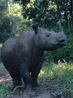 Ratu posing | by International Rhino Foundation