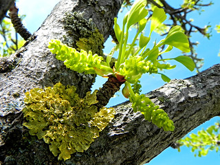 Ginkgo Flowers and Lichen | by Hawaiian Sea