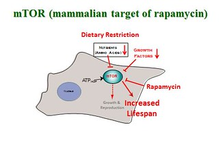 Action of rapamycin | by Oregon State University