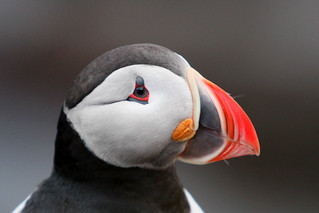 The Scottish Seabird Centre - Save Puffin | by sebastien banuls