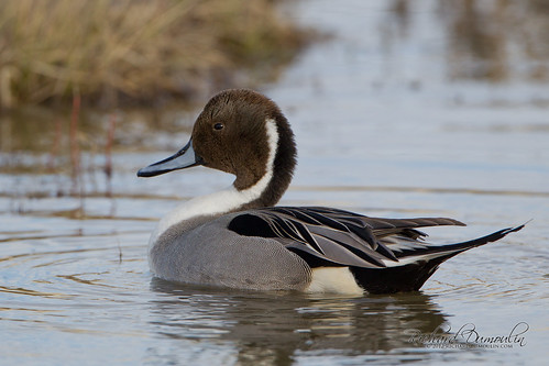 Canard Pilet / Northern Pintail / Anas acuta | by RichardDumoulin