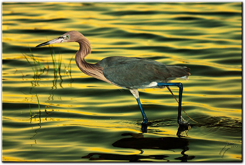 Reddish Egret On The Hunt - Fort DeSoto, FL [Explored] | by mlibbe