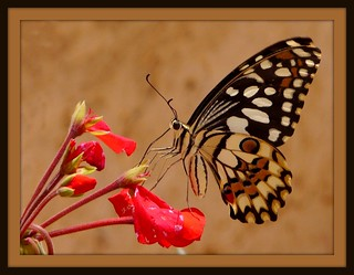 Butterfly | by .Diler