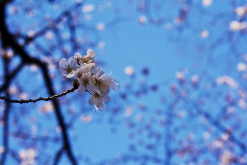 this year's obligatory cherry blossom photo | by MdKiStLeR