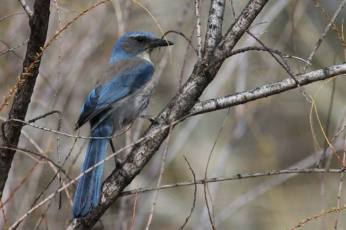Scrub Jay | by John Hardison, The Old Snake Wrangler