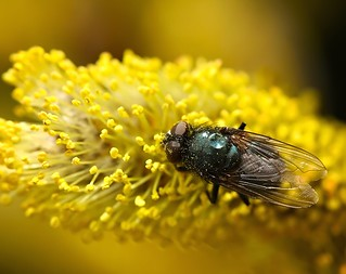 Fly on Yellow | by Karen_Chappell