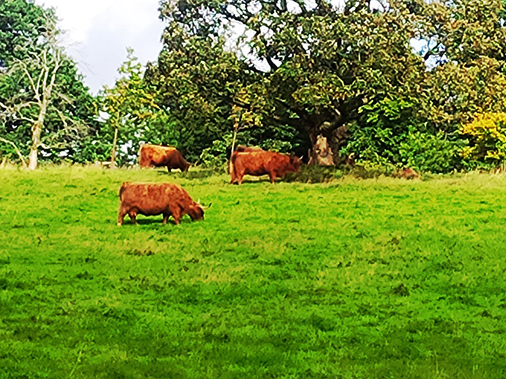 Highland Cattle at Pollok Country Park, Glasgow, Scotland.