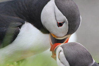 I adore Puffins! | by ladyjaypeg