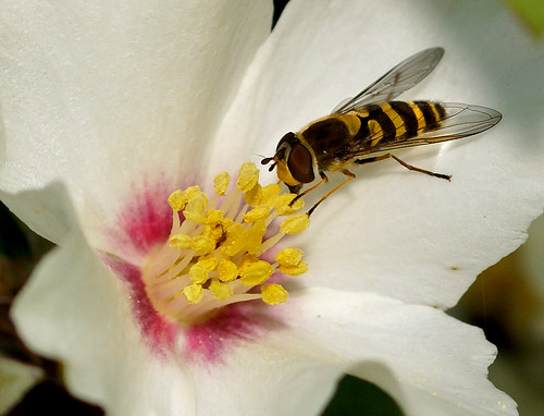 Hoverfly on Philadelphus | by Jane in Colour