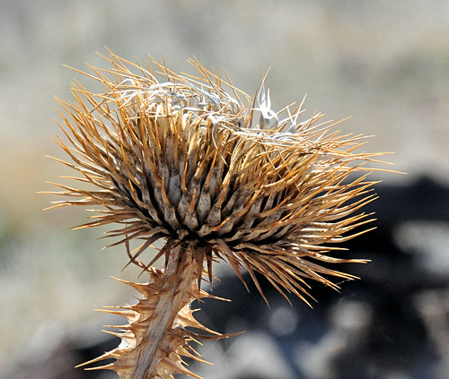 Red Cliffs Nat'l Conservation Area: Dried Thistle | by Pat's Pics36