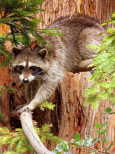Raccoon In My Redwood This Is Sam My Raccoon Climbing