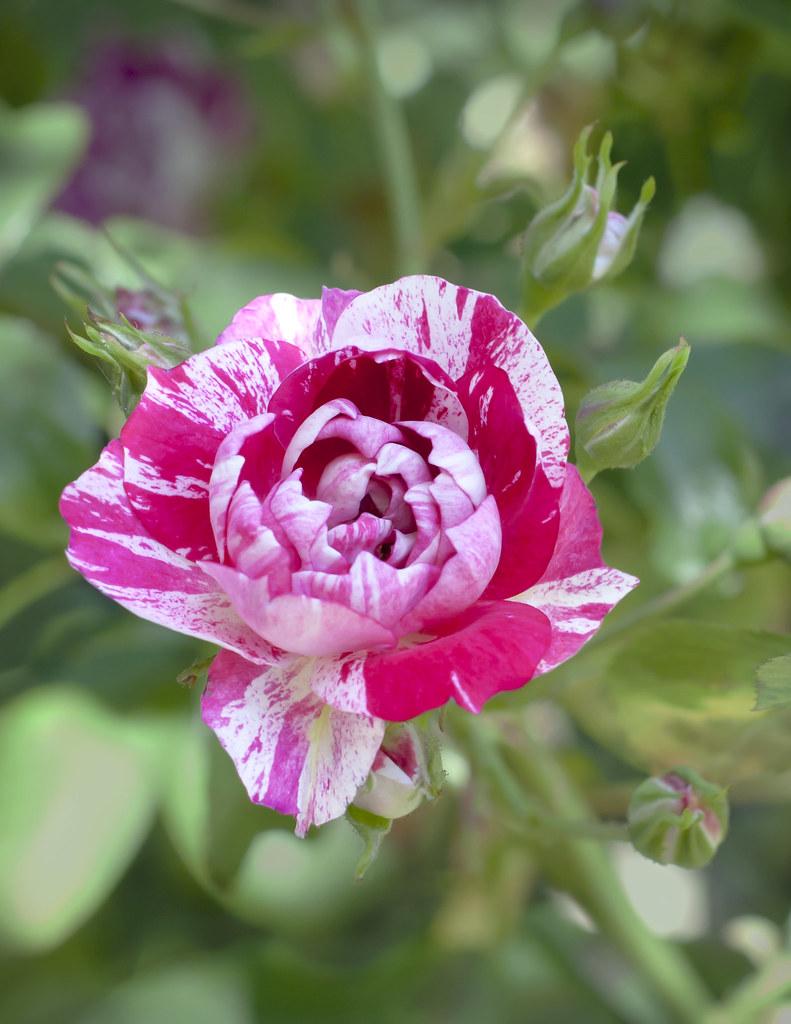 White Garden Rose Bush variegated red and white rose on a garden bush | lesela | flickr