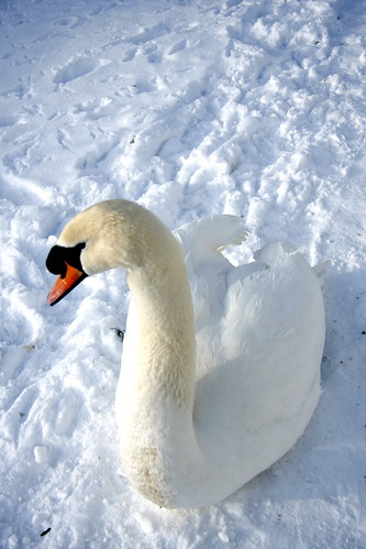 One of our pet Swans, | by John Hitchings. Photography