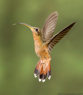 Rufous-breasted | by Nature's Photo Adventures - David G Hemmings