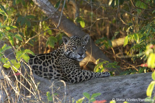 Jaguar resting on a log - Brazilian Pantanal | by Panthera Cats