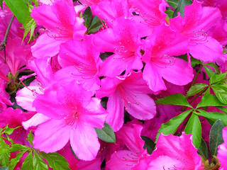 Azalea 2010 by Richard Lazzara DSCN3533 | by shankargallery